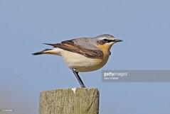 Wheatear male (Gary Chalker, Thanks for over 2,000,000. views) Tags: wheatearmale wheatear k5 pentaxk5 pentax pentaxfa600mmf4edif fa600mmf4edif bird