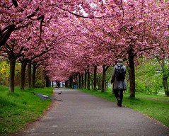 Berlin blossom (berlinka_lg) Tags: berlin berlinblossom hanami cherryblossom kirschenblüten germany deutschland nature urbannature allee