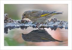 Verdern (miguelangelortega) Tags: naturaleza reflection verde bird nature water animal agua stones feather pico sed piedras pjaro amarilo relejo ltytr1