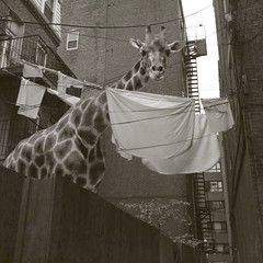 She wasn't sure why she was put out to dry (Janine Graf) Tags: boston ma surrealism surreal laundry surrealist giraffe wtf littleitaly artrage outtodry juxtaposer scratchcam janinegraf squareready iphone5s