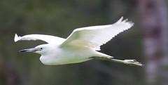 _C5A7607.jpg (Lake Worth) Tags: bird nature birds animal animals canon wings wildlife feathers sigma waterbird wetlands everglades waterbirds southflorida 2xextender