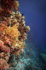 All there (Justin Beevor) Tags: underwater redsea hurricane egypt cavern zabargad scubatravel tornadomarinefleet inonz240 nauticam