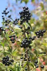 fruit de troene ligustrum vulgare (luka116) Tags: fruit schweiz switzerland suisse swiss svizzera 2008 vaud arbustre ligustrumvulgare chamblon