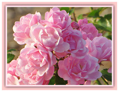 Delicate Tenderness (bigbrowneyez) Tags: pink light roses nature beautiful petals october soft blossoms victorian rosa natura fresh frame fancy belle buds sweetheart charming elegant fabulous delicate luce tender rosebush delightful cornice elegante bellissime sweetheartroses flickrsweet delicatetenderness