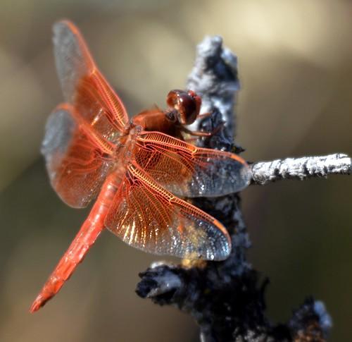 636e dragon wings