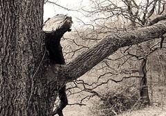 Wuppertal-Beyenburg: old oak tree with broken branch (wwwuppertal) Tags: blackandwhite bw film monochrome germany deutschland spring mai nrw sw ilfordxp2super monochrom wuppertal bergischesland nordrheinwestfalen frhling wanderung familyouting sonntagsspaziergang beyenburg blancetnoir frhjahr northrhinewestphalia schwarzweis nikkormatftn analogefotografie analogphotograph analoguephotography 55mmf35micronikkorpauto nonailens preailens wuppertalbeyenburg 3555mmmicronikkorpauto nonaiobjektiv