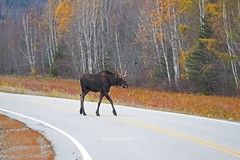 IMG_6490 (lloydsjourney) Tags: autumn wild snow fall nature natural wildlife maine newengland newhampshire moose bull antlers mtwashington rack lloyd alexander bullmoose lloydalexander