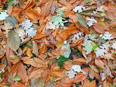 Fallen leaves in the ground (Kaisaniemi Botanic Garden, Helsinki, 20141020) (RainoL) Tags: autumn trees plants plant tree leaves finland garden geotagged leaf helsinki quercus u helsingfors botanicalgarden kaisaniemi 2014 uusimaa aesculus arboreal nyland cultivatedplants kajsaniemi kaisaniemibotanicgarden 201410 20141020 geo:lat=6017482876 geo:lon=2494730688
