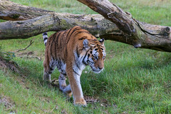 Walking tiger (-JvL-) Tags: tiger nederland tijger siberiantiger safaripark beeksebergen noordbrabant hilvarenbeek siberischetijger
