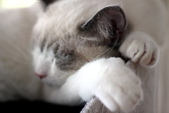 paws (overthemoon) Tags: sleeping white cute animal cat 50mm kitten explore paws ragdoll pattes 274 1j1t