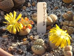 108 (BobTravels) Tags: plant stone bob lithops lithop messem bobwitney