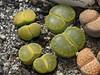 DSCF1407 (BobTravels) Tags: plant stone bob lithops lithop messem bobwitney