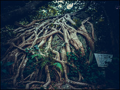(David Panevin) Tags: trees nature sign japan vines rocks roots olympus ferns kochi omd muroto em5  davidpanevin mzuikodigitaled12mmf2