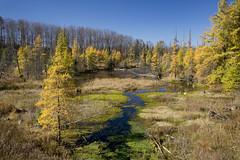 Beautiful swamp (Thankful!) Tags: autumn fall yellow automne swamp marsh larch tamarack larixlaricina