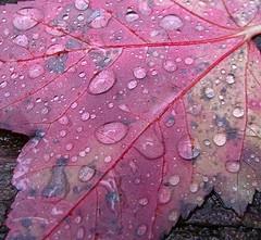 2014_1016Wet-Leaf-Contest0006 (maineman152 (Lou)) Tags: autumn fall nature october fallcolor maine autumncolors fallfoliage naturephotography naturephoto leaveschangingcolor treesturning fallfoliageseason treeschangingcolor
