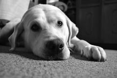 TOBY (juancho.tobon) Tags: perros