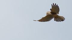 Kestrel Over Bradgate (Jigsaw-Photography-UK) Tags: uk bird beautiful feathers prey kestrel bradgate jpproductionsuk