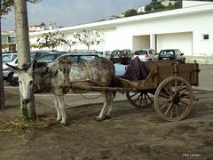 Transporte ecolgico - Montemor o Velho (verridrio) Tags: animal donkey burro asno jumento express culo cul coimbra velho carroa 2010 transporte outubro asino montemor ecologico mondego ecologia montemorovelho baixomondego