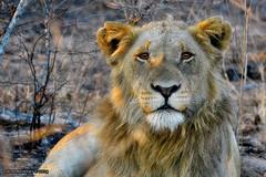 DSC_9710 (Arno Meintjes Wildlife) Tags: africa animal southafrica wildlife lion safari bigcat predator krugerpark big5 pantheraleo arnomeintjes