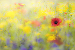 Wildflower Meadow (Jacky Parker Floral Art) Tags: red meadow poppy wildflowers remembranceday remembrance filed freshness selectivefocus naturephotography floralart fragility beautyinnature poppyday horizontalformat flowerphotography focusonforeground creativeedit fieldpoppies cornmarigolds