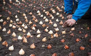 Nīderlandes vēstniecība Latvijas prezidentūrai dāvā tulpju dobi