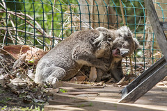 Mating Koalas (vk2gwk - Henk T) Tags: garden mammal australia koala nsw mating ritual marsupial phascolarctoscinereus onemilebeach
