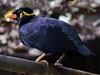 Beo - Vogelpark Irgenöd (Kraki Hobby Photography) Tags: stare religiosa mynah vogelpark ortenburg singvögel gracula sperlingsvögel irgenöd vogelparkirgenöd krakihobbyphotography
