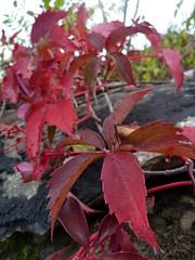 Virginia Creeper (Dendroica cerulea) Tags: autumn red plant leaves newjersey nj vine foliage monmouthcounty vitaceae sandyhook virginiacreeper parthenocissus vitales parthenocissusquinquefolia gatewaynationalrecreationarea