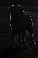 Backlit Gem (Boganeer) Tags: dog pet canon lab labrador labradorretriever backlit gem contrejour backlighting canonxti