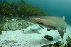 Two Up (Jim Dodd UW Photography) Tags: shark underwater scuba diving scubadiving broughton nelsonbay portstephens underwaterphotography gns northrock greynurse sharkdiving greynurseshark uwphotography broughtonisland jimdodd jimdoddunderwaterphotography