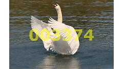 Flickr_003374 (lima_ho_htc) Tags: white lake bird water birds swan wings wing feathers mute leavalley franbanks rememberthatmomentlevel4 rememberthatmomentlevel1 rememberthatmomentlevel2 rememberthatmomentlevel3 rememberthatmomentlevel9 rememberthatmomentlevel5 rememberthatmomentlevel6 rememberthatmomentlevel10