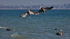 Brown Pelicans (A), diving together, Santa Monica Bay CA CQ4A1595 (Hart Walter) Tags: brownpelican malibulagoon marbledgodwit earedgrebe santamonicabay pelicanfeedingfrenzy