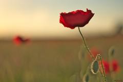 ...trouble.... (fredf34) Tags: flowers red field fleurs rouge rojo pentax flor champs poppies campo fiore ricoh k3 amapolas papavero coquelicots fredf fredf34 pentaxk3 pentaxsmcda50mmf18 ricohpentaxk3 fredfu34