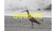Flickr_000988 (mike_ho_htc) Tags: canon eos colombia jose 7d arboleda numenius phaeopus gorgona ef400mmf56lusm josmarboledac freedomtosoarlevel1birdphotosonly
