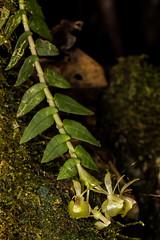 Epidendrum sp. (PenduSeb - 2670m) Tags: epidendrum santander orquideas labelleza
