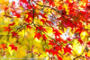 Red and yellow II (Zoë Power) Tags: autumn red orange macro fall leaves yellow bokeh acer mapleleaves harcourtarboretum bokehlicious canon6d