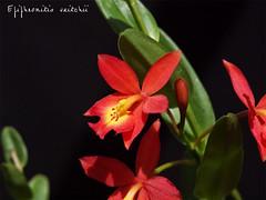 Epicattleya Veitchii (Epidendrum radicans x Cattleya coccinea) par Raoul (cattlaelia) Tags: orchid orchidée epicattleya epiphronitis cattlaelia