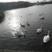 Swan Lake Photo, morning walk lake + swans by Array (aka Array)