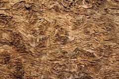 Swirls (Cefn Ila) Tags: tree oak burl wentwood curleyoak