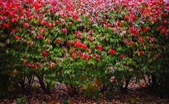 Burning Bush (jpmatth) Tags: plant color digital canon eos lenstagged bush hedge mk2 5d burningbush 2014 ef35mm20