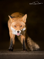 Red Fox (Tom Dean.) Tags: red canon wildlife fox 5dmarkiii tomdeanphotocom