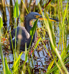 _C5A4209.jpg (Lake Worth) Tags: bird nature birds animal animals canon wings wildlife feathers sigma waterbird wetlands everglades waterbirds southflorida 2xextender 5dmark3