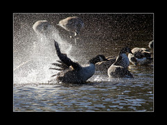 splash (tkimages2011) Tags: canada water geese dam splash sthelens merseyside carrmill 19arches