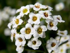 Alyssum (starr.kirby) Tags: plant flower macro nature photography natural alyssum