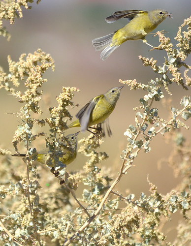 Orange-crowned Warbler grabs a fly sequence