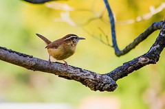 Carolina Wren (tkclip47) Tags: bird maryland carolina wren