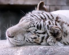 Rocky ♂ - Daydreaming (Belteshazzar (AKA Harimau Kayu)) Tags: rocky kara tiger zoo animal bigcat bigcats feline bengaltiger pantheratigristigris königstiger indischertiger eltigredebengala tigredubengale latigrerealedelbengala бенгальскийтигр 孟加拉虎 whitetiger weisertiger tigreblanco tigreblancroyal белыйтигр 孟加拉白虎 zooshot tobu tobuzoo snowwhite sunbathing canada playful playfulcat playfultiger playfulwhitetiger bengal