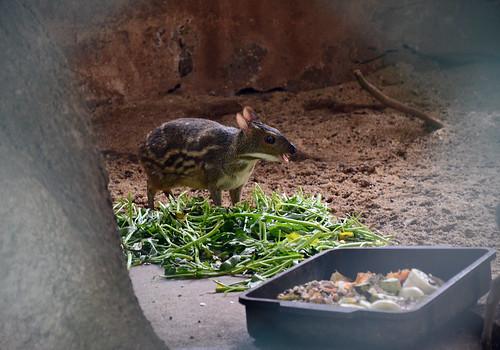 الفأر الغزال Deer Mouse