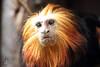 Colchester Zoo: Golden-Headed Lion Tamarin (Jasmine'sCamera) Tags: colchester colchesterzoo zoo animals animal wild wildlife goldenheadedliontamarin lion tamarin golden