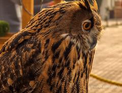 Owl Thinking (Nourah.A.Edhbayah (Super Flower♥إظبيه)) Tags: owl think nourah edhbayah abdullah kuwait q8 نورة عبدالله اظبيه بوم بومه الكويت